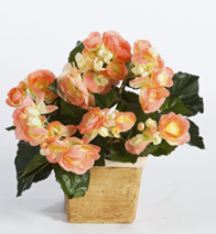 Begonia Bush yellow/peach