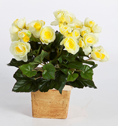 Begonia Bush yellow