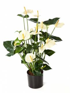Anthurium de luxe Cream with pot 78 cm