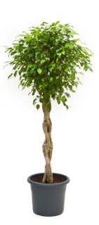 Ficus benjamina Stem braided
