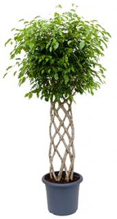 Ficus benjamina Stem hedge
