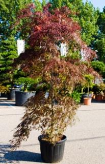 Acer dissectum Inaba Shidare pyramide