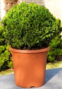 Buxus sempervirens Boll (35)