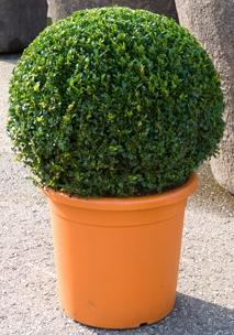 Buxus sempervirens Boll  (60-65)