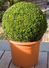 Buxus sempervirens Boll (50-55)