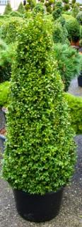 Buxus sempervirens Pyramid 4 sided