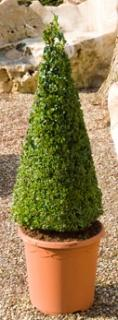 Buxus sempervirens Pyramid (60-70)