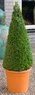 Buxus sempervirens Pyramid (95-105)