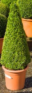 Buxus sempervirens Pyramid (80+)