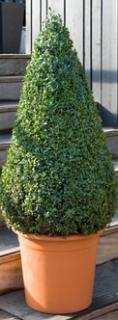 Buxus sempervirens Pyramid (90-100)