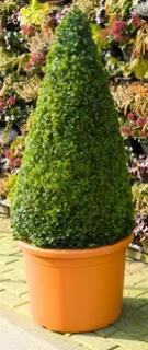 Buxus sempervirens Pyramid (120-130)