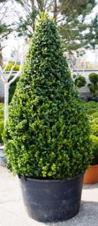 Buxus sempervirens Pyramid extra