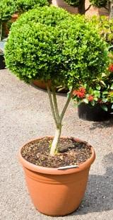 Buxus sempervirens Branched 2-3 boll