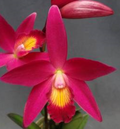 Cattleya CT Guiding CT Red Top