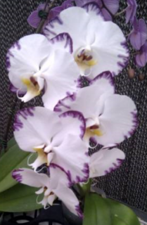 Doritaenopsis Black Lightning Flash