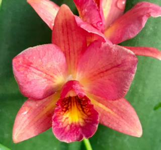 Laeliocattleya Little Lemon Drop x Ctna Why Not