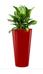 Aglaonema silver bay + Runner red
