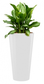 Aglaonema silver bay + Runner white