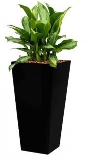 Aglaonema silver bay + Runner black