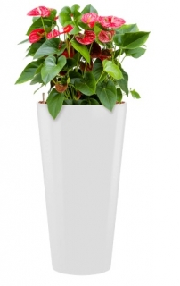 Anthurium Sierra + Runner white