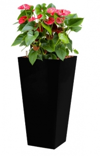 Anthurium Sierra + Runner black