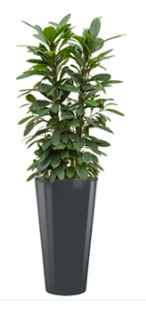 Ficus cyathistipula + Runner anthracite