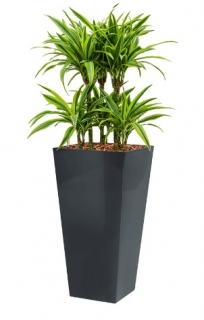 Dracaena Lemon Lime - Runner anthracite