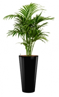 Howea fosteriana - Runner black
