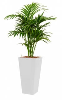 Howea fosteriana - Runner white