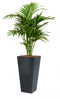 Howea fosteriana - Runner anthracite