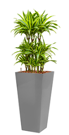 Dracaena Lemon Lime - Runner silver