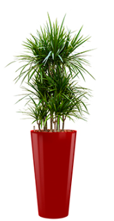 Dracaena marginata - Runner red