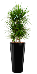 Dracaena marginata - Runner black