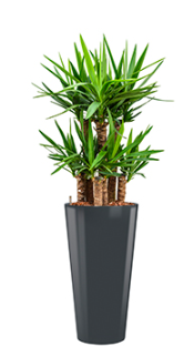 Yucca elephantipes - Runner anthracite