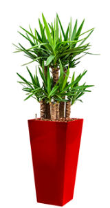 Yucca elephantipes - Runner red