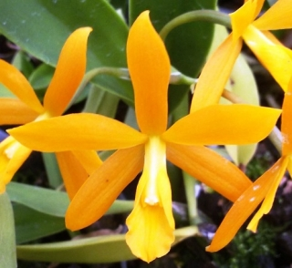 Laeliocattleya Little Lemon Drops x Encyclia vitellina
