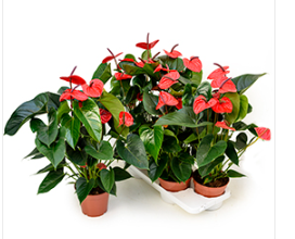Anthurium andreanum Dark Red