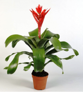 Aechmea Rozanne Elegant Red