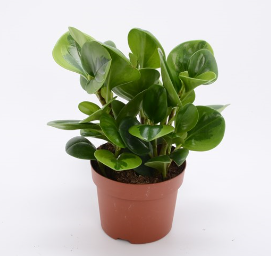 Peperomia Lemon Lime