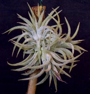 Tillandsia ionantha mini