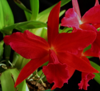 "Sophrolaeliocattleya Jewel Box ""Dark Waters"""