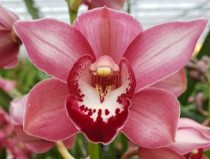 Cymbidium Jolly Red