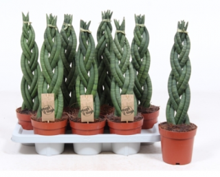 Sansevieria cylindrica ´Twister´
