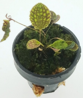 Lepanthes calodictyon