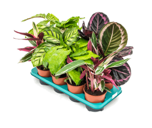 Calathea mix - 8 ks