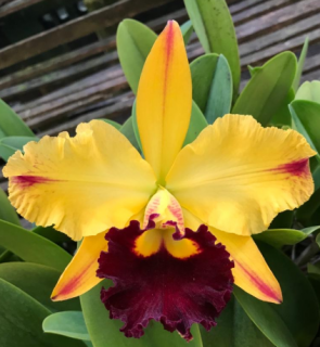 Brassolaeliocattleya Tajmas Satisfaction