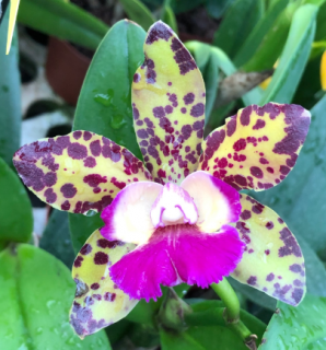 Brassolaeliocattleya Waianae Leopard x (Cruziero do Sul x Hawaiian Variable)