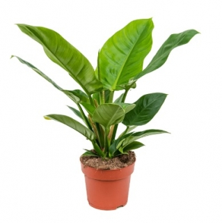 Philodendron 'Imperial Green´ - 55 cm