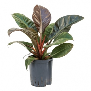Philodendron 'Imperial Red' - 45 cm - hydroponie