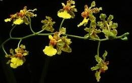 Oncidium cebolleta